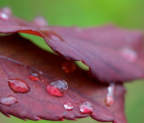 Raindrops on the red leaves...