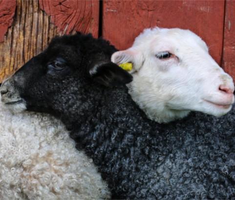 Lamb Friends